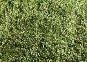 5 Star Fescue(Shade Tolorant)